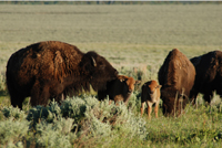 Bison and calves