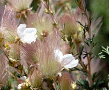 Many beautiful shrubs are found in Guadalupe Mountains National Park.