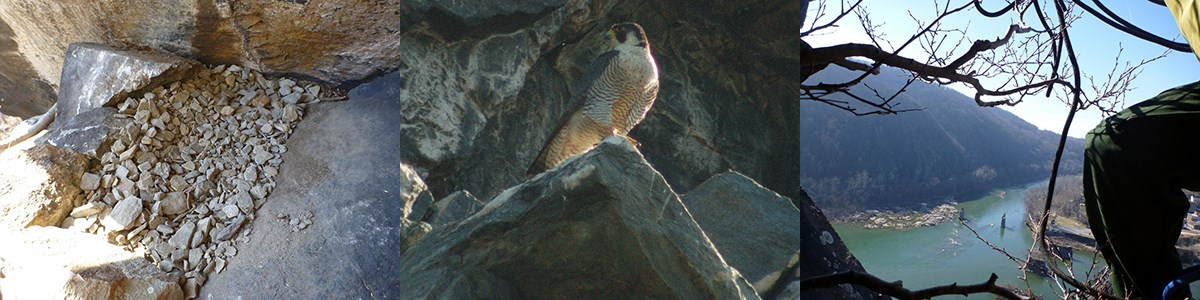 three images: gravel on a ledge; female peregrine falcon on a rock; view from rock ledge of Harpers Ferry