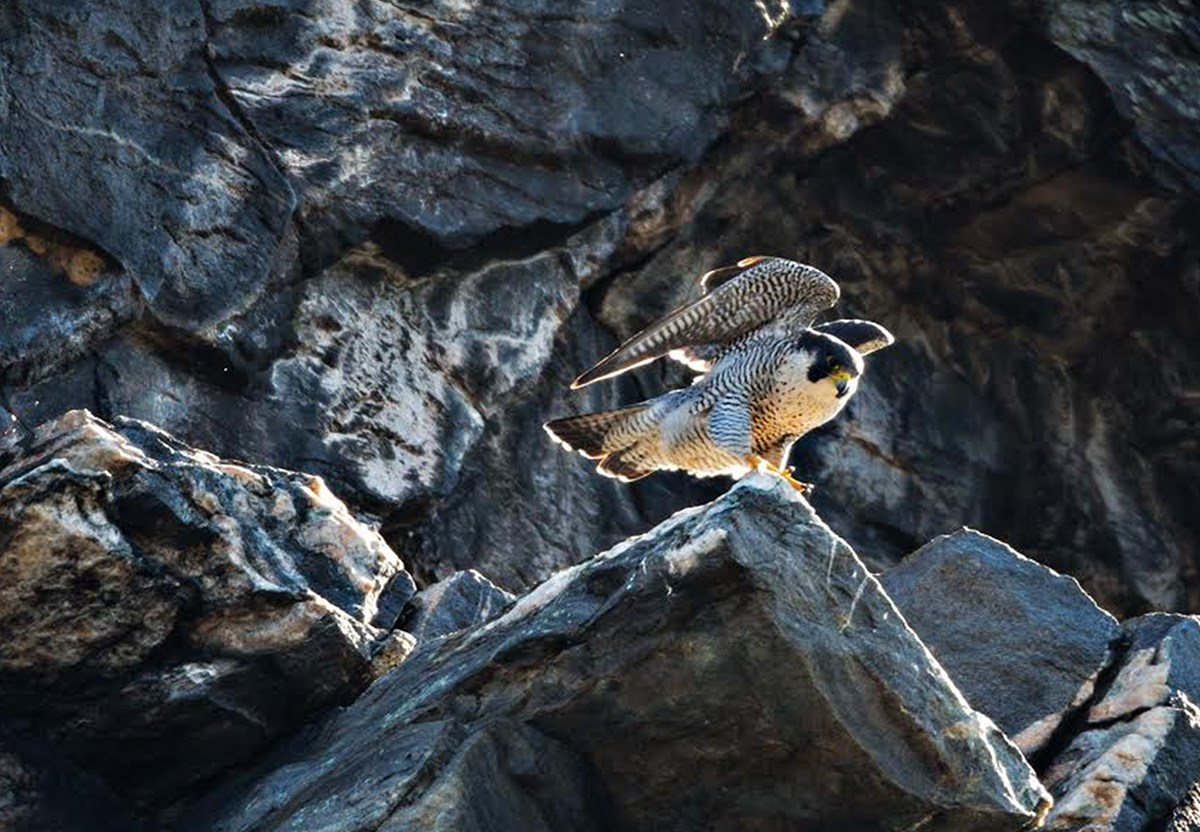 female peregrine falcon with a cliff face behind it