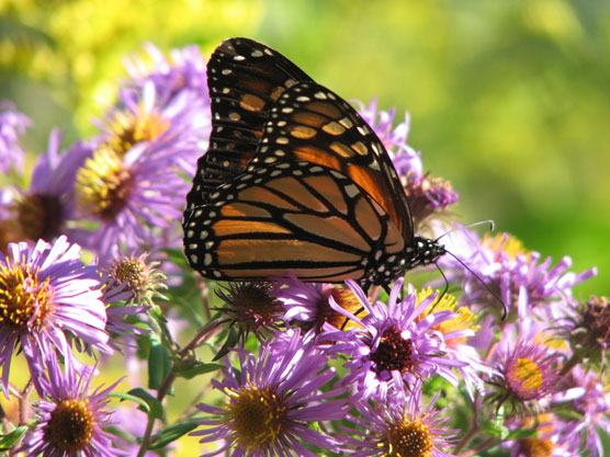 Orange and black butterfly feeds on pinkish-purple flower.