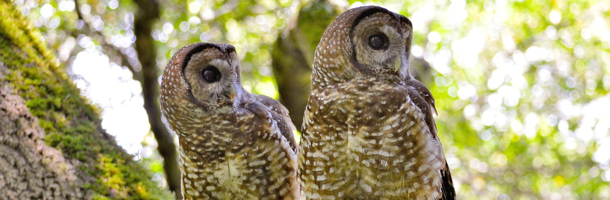Two adult northern spotted owls on a moss covered tree branch