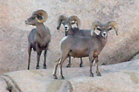 Desert Bighorn Sheep Range Map