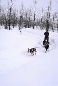 A musher is pulled through the woods by sled dogs.