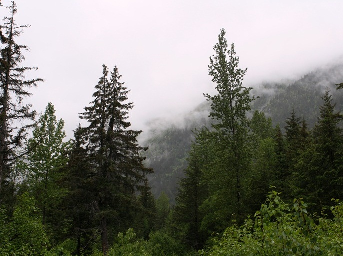 View from West Creek Road with spruce trees and fog.
