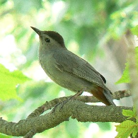 The Gray Catbird is often heard at Longfellow NHS, but seldom seen, as it usually hides in dense undergrowth.