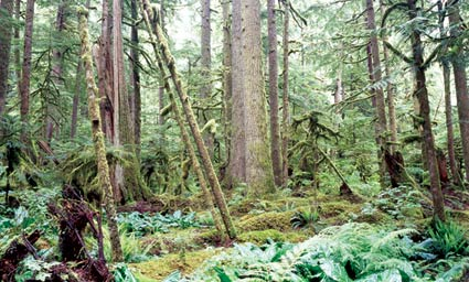 A dense tangle of greenery and tree trunks make up the temperate rainforest at Carbon.
