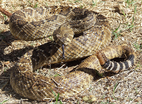rattlesnake When my friend was telling me he was banging an interracial wife, ...