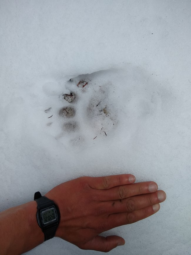 Bear track on the snow next to a hand for scale reference