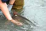 A radio-tagged fish is released.