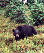 bear in meadow, looking up at photographer, small subalpine firs behind bear