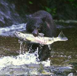 Black bear with chum salmon in its mouth