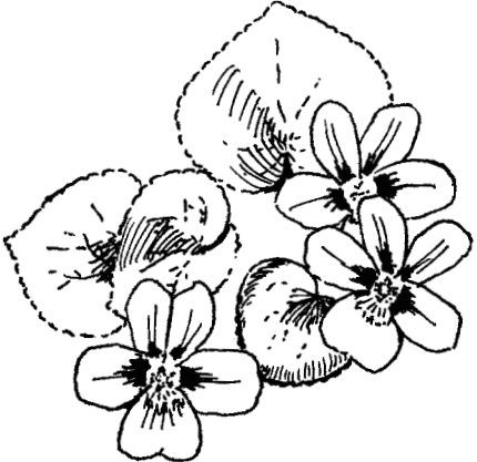 A drawing of of three flowers, each with five petals, and broad, heart-shaped leaves.