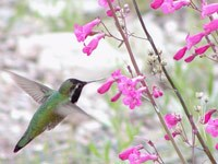 Black chinned hummingbird at a pink penstemmon wildflower