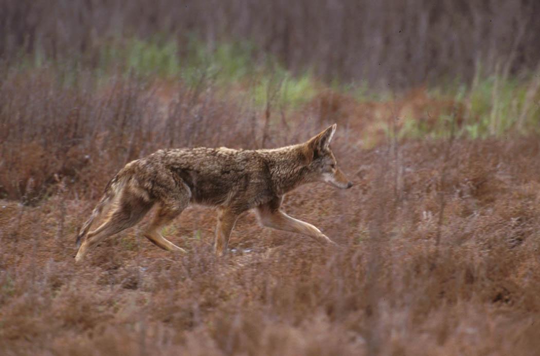 الموسوعة الكاملة للكلبيات Canis_latrans_walking-USFWS