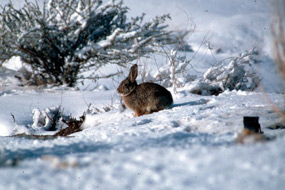 rabbit sitting in snow