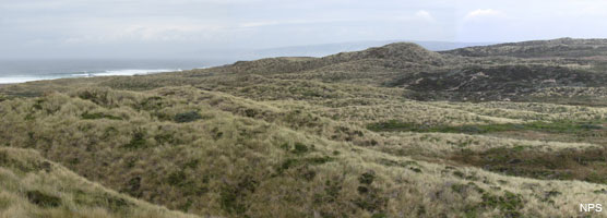 Sand dunes covered in non-native invasive European beachgrass