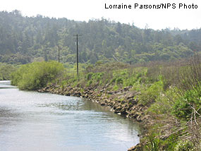 Riprapped section of Lagunitas Creek bank in southern portion of East Pasture.