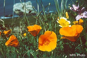 California poppies, a tidy-tips, and a checker-bloom.