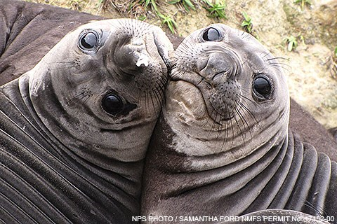 Two gray and wrinkly weaned elephant seal pups press their faces together.