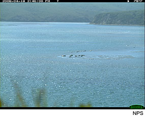 Harbor Seals in Drakes Estero on April 18, 2008. Photo taken by a Wildlife Monitoring Camera.