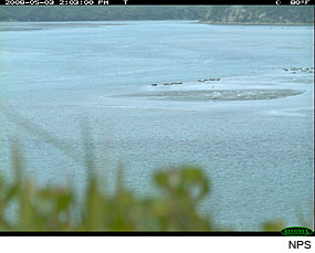 Harbor Seals in Drakes Estero on May 3, 2008. Photo taken by a Wildlife Monitoring Camera.