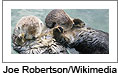 California Sea Otters. Image courtesy of Joe Robertson/Wikimedia.