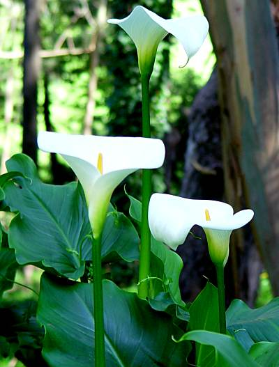 http://www.nps.gov/prsf/naturescience/images/calla_lily.jpg