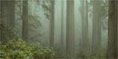 foggy redwood forest