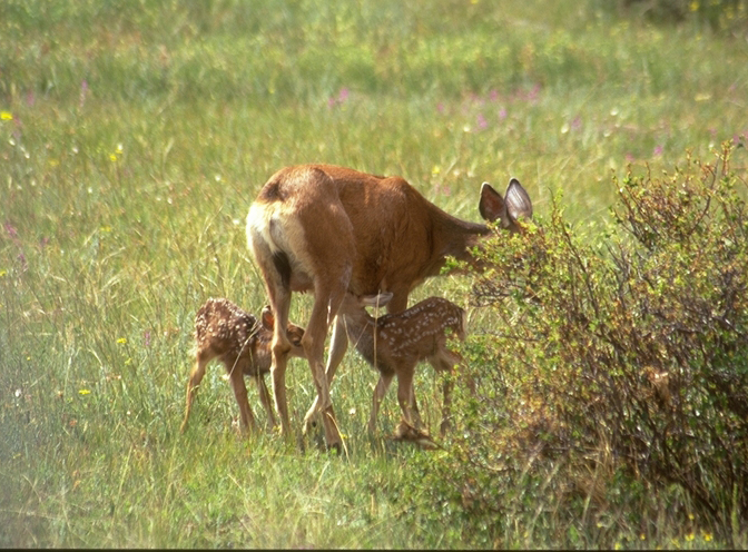 Unlike elk, mule deer do not collect harems or bugle during the fall mating
