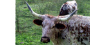 Longhorn cattle evolved from 3 breeds of cattle that the Spanish imported in the 18th century.