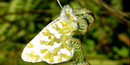 island marble butterfly