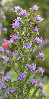 Viper bugloss, a plant with small blue flowers atop candy-cane shaped stems