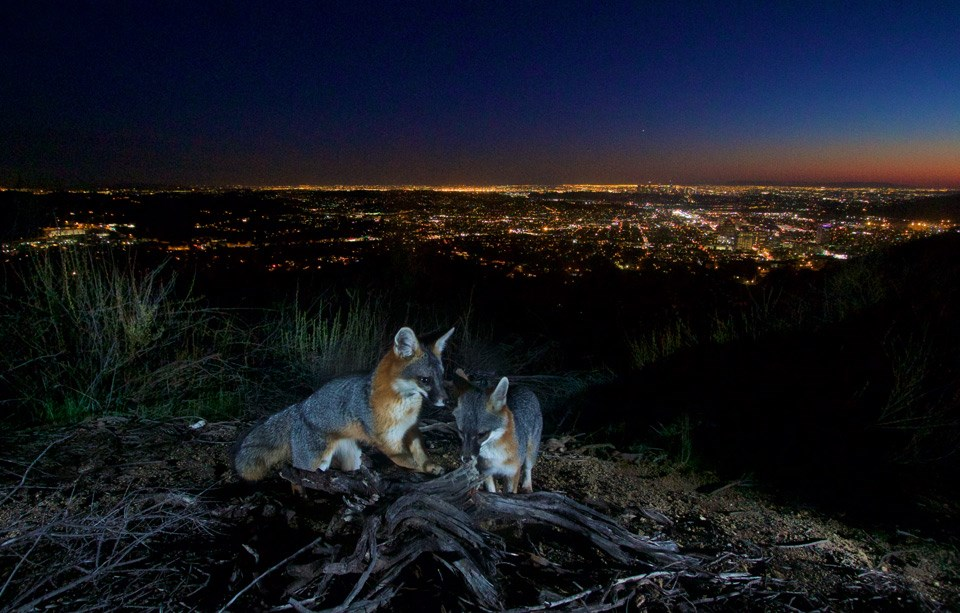 Two gray foxes at night with city lights in the background