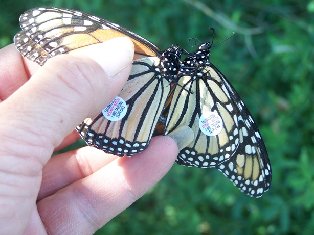 Two Monarch butterflies after being tagging for research purposes at Sand Creek Massacre.