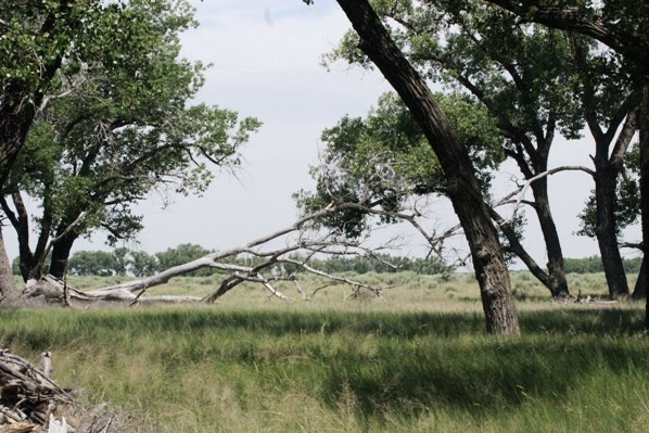 Cottonwood trees at Sand Creek Massacre NHS with a fallen tree centered in the photo.