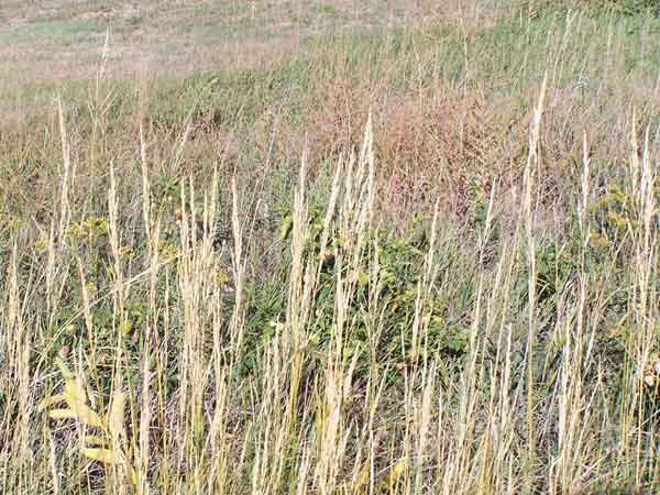 environmental factors on prairie grass essay The dust bowl was a drought and heat wave that destroyed  the dust bowl is an environmental disaster that hit the  tall prairie grass once protected the.