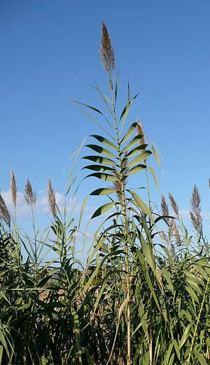 Giant reed flowers and stalks