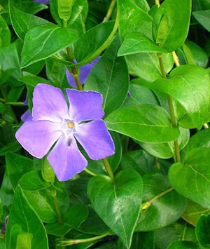 Greater periwinkle flower and leaves
