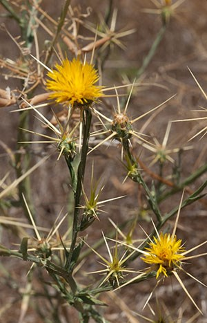 The spiny flowers of yellow star thistle