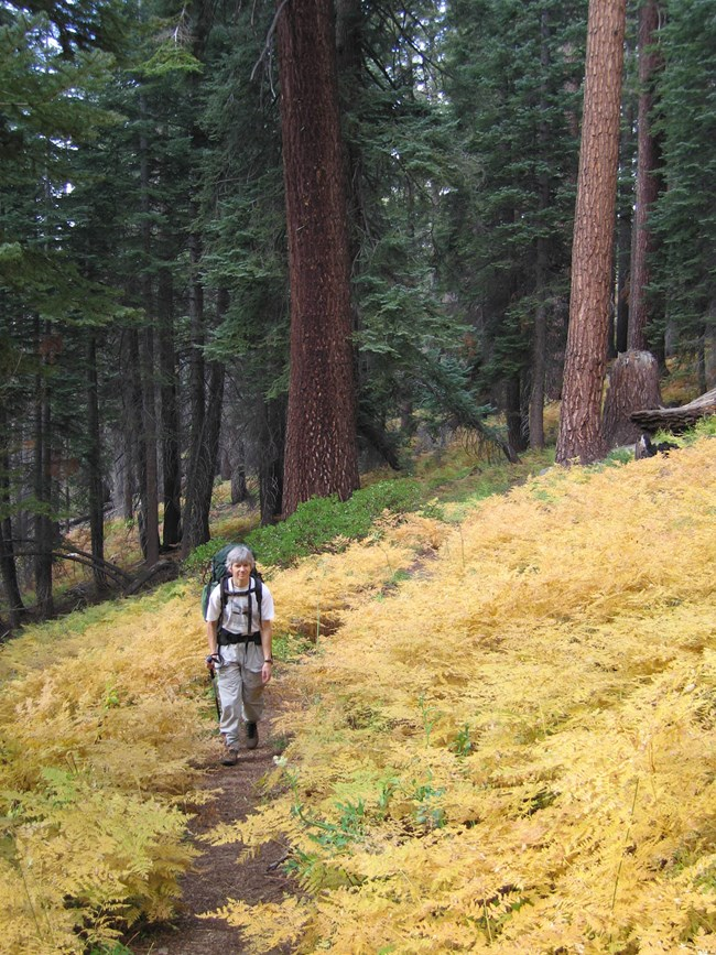 A hiker travels along a park trail in fall. Ferns on the forest floor have turned shades of yellow.