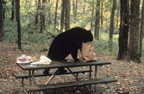 Black bear on a picnic table helping itself to some food.