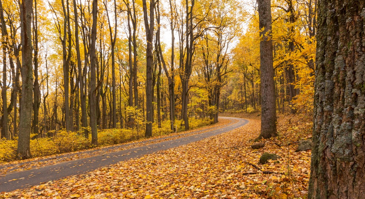 A leaf-covered road runs through a stand of yellow trees in the fall.
