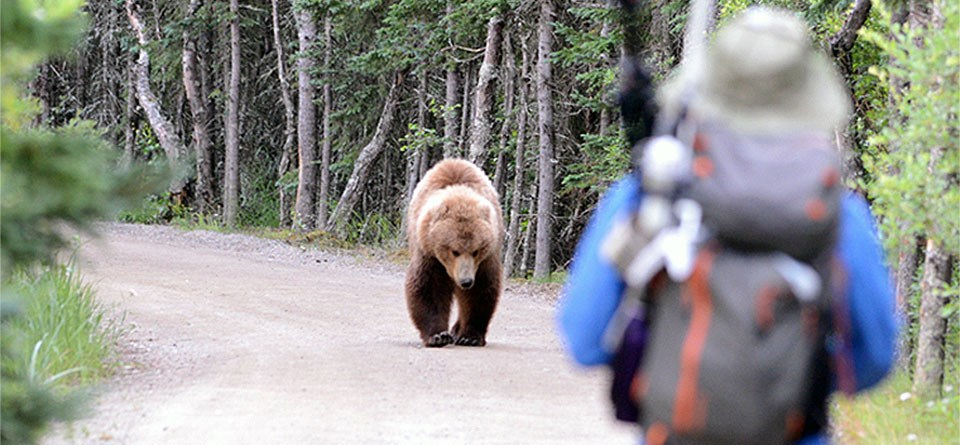 Bear approaches a visitor along a road at Brooks Camp