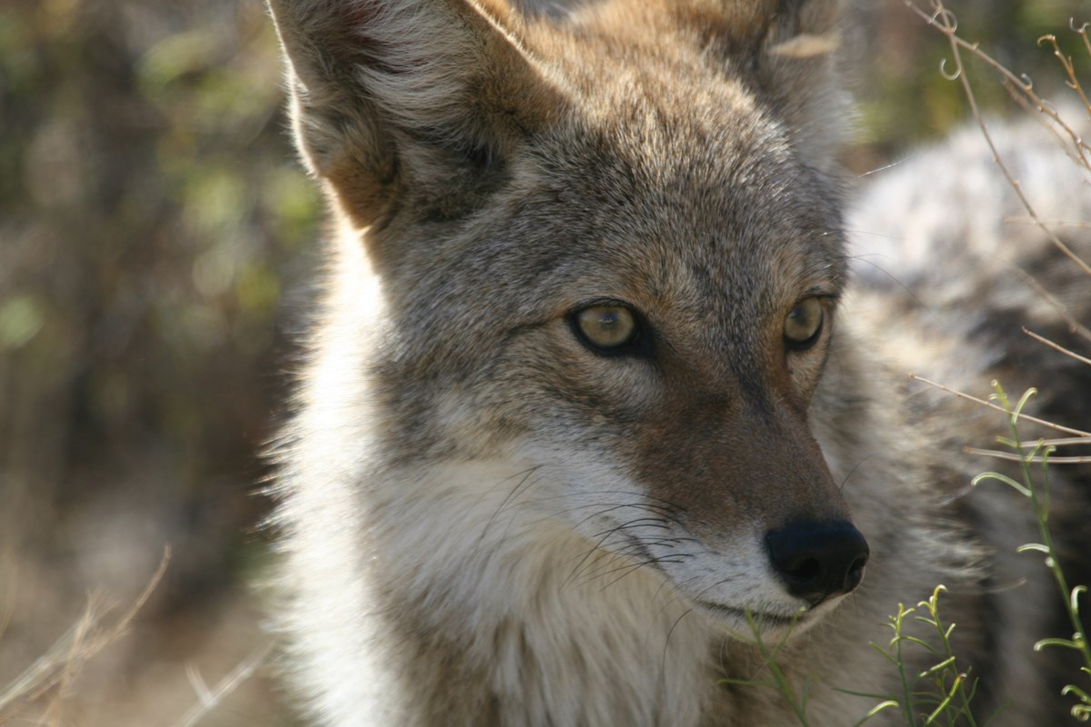 A coyote pricks its ears, alert to its surroundings