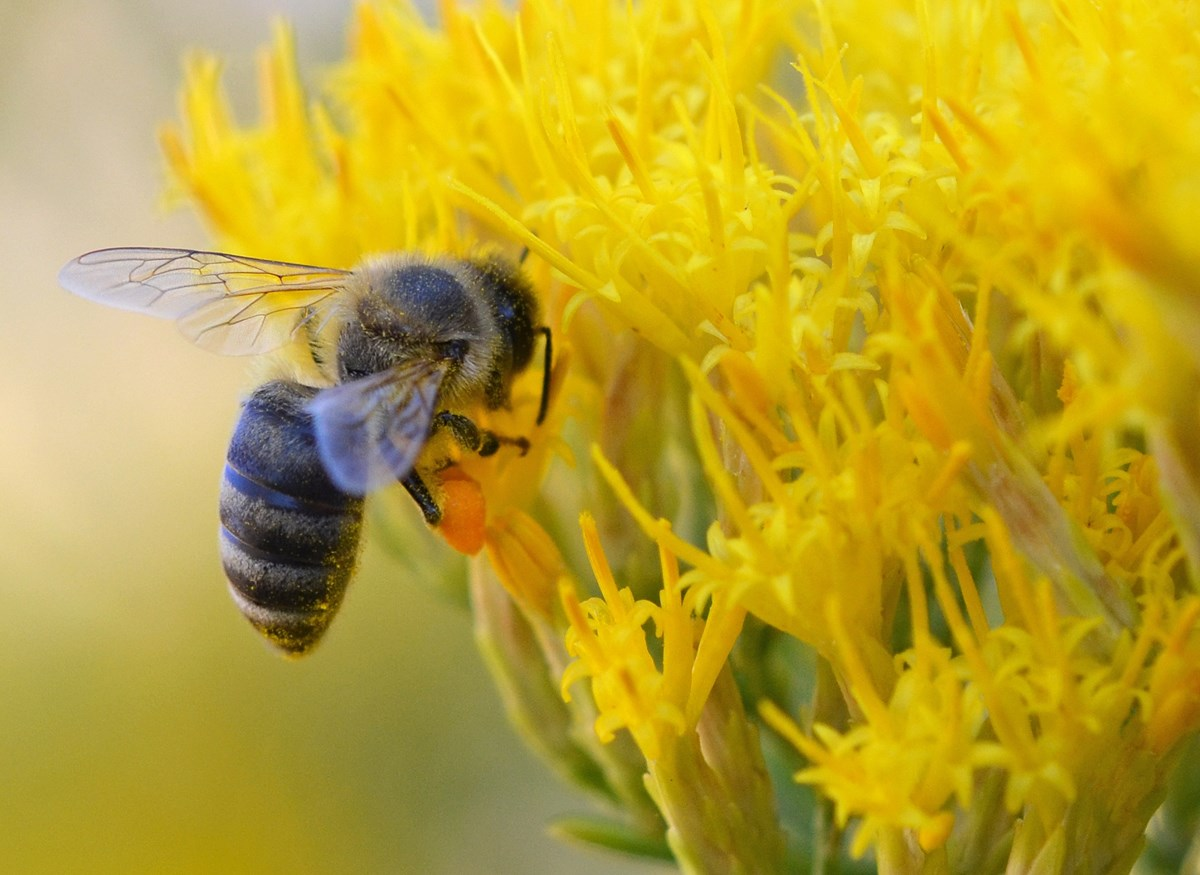 Honey bee gathers nectar from blooming yellow flowers