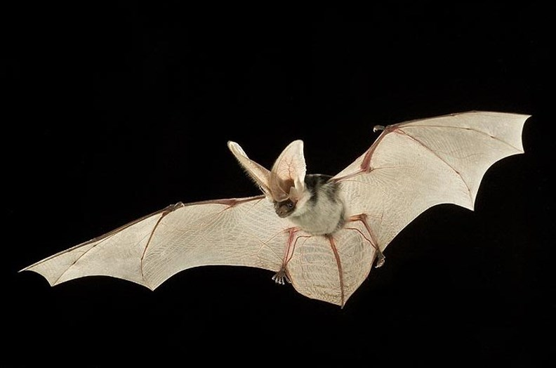 Spotted bat in flight with wing span