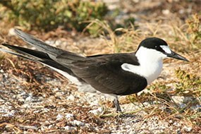 Sooty tern a black and white bird