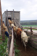 unloading cattle at the preserve