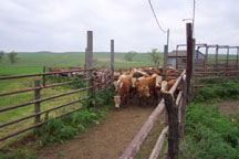 cattle waiting for directions